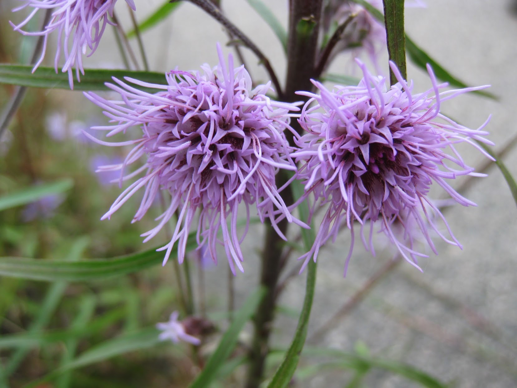 New England Blazing Star