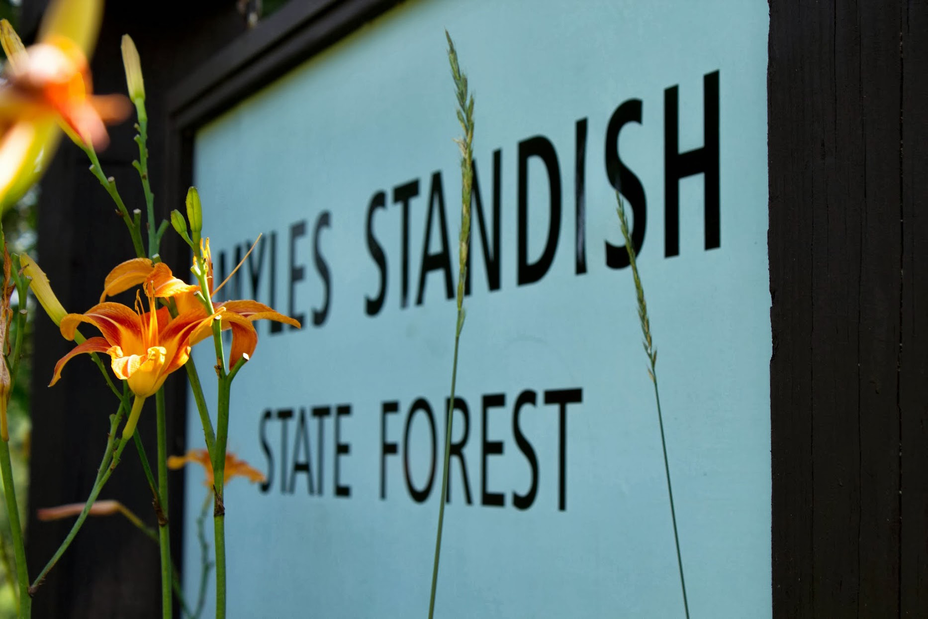 tiger lilies around Myles Standish SF sign