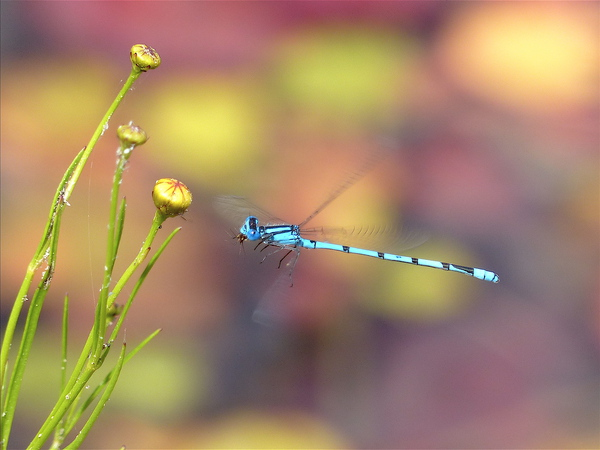 damselfly in MSSF