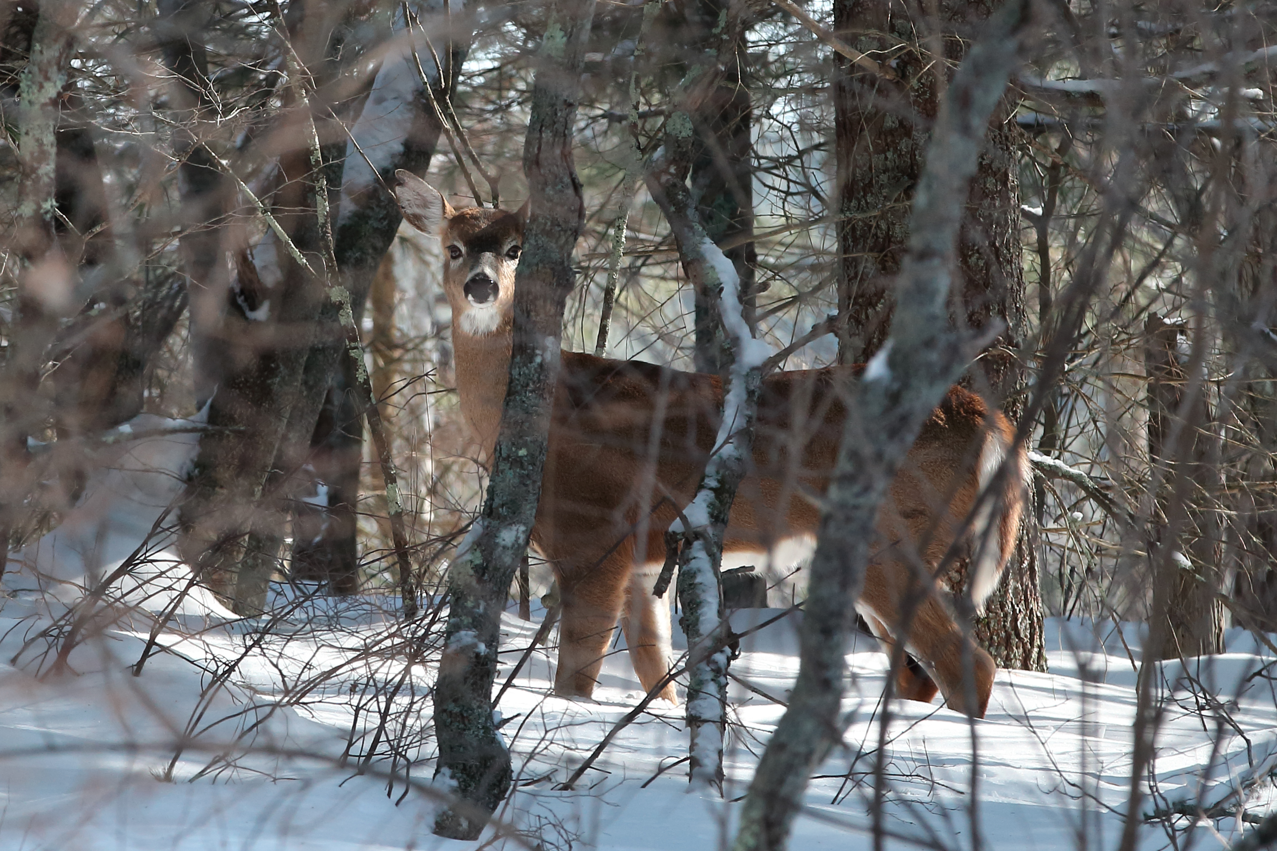 winter deer in MSSF