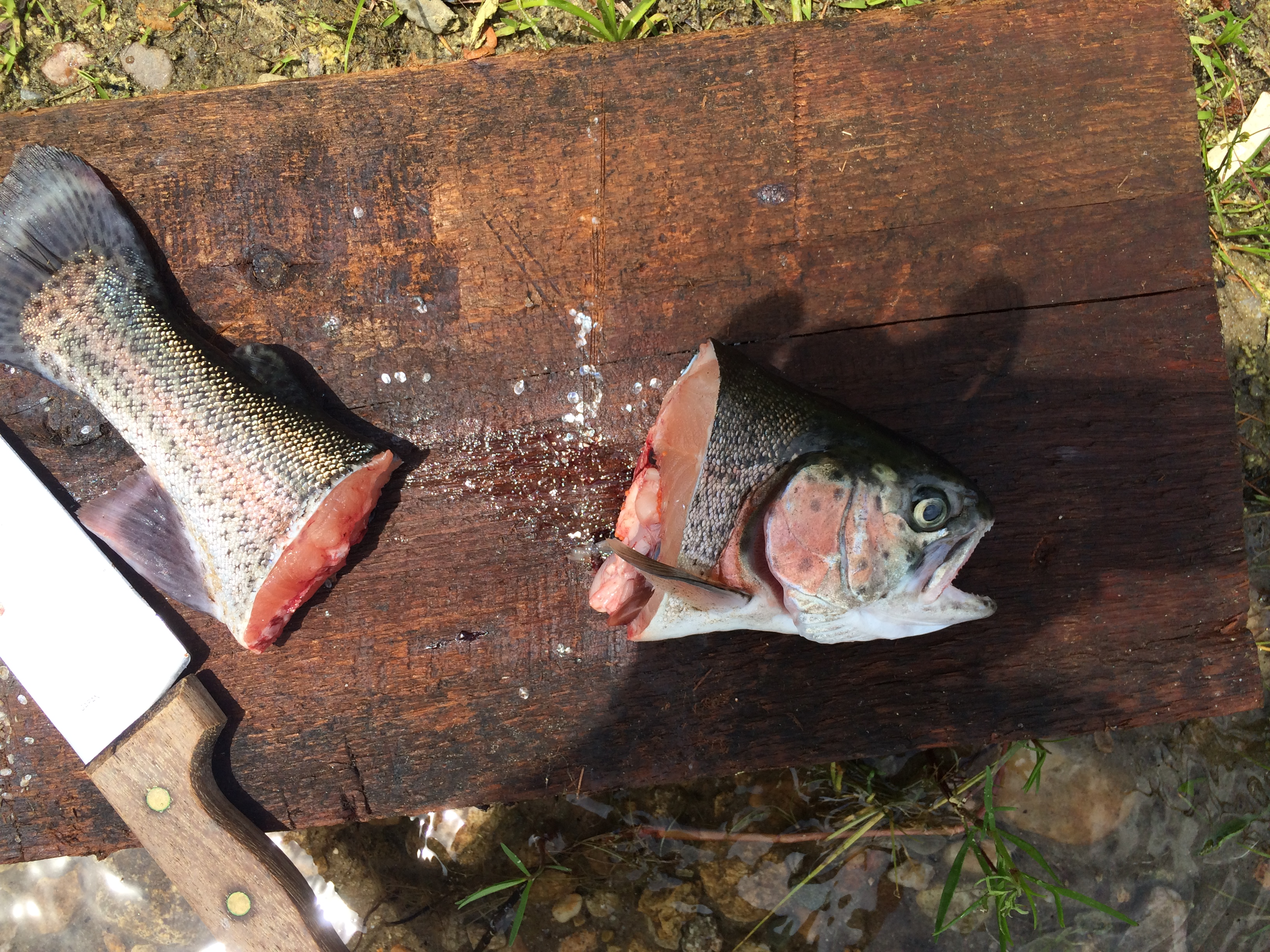 Rainbow trout from Fearing Pond in Myles Standish State Forest