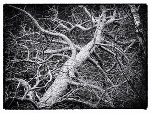 gnarled tree limb photo