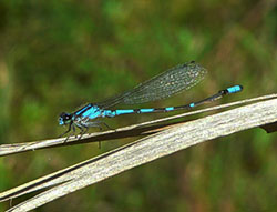 Pine Barrens Bluet