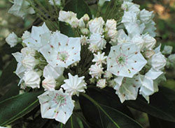 Best choice for pine barrens mountain laurel